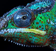 Chameleon in profile by Angi Wallace
