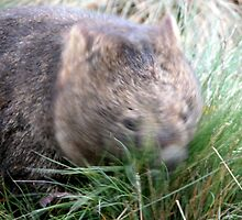 Wombat in a tussle with a tussock,Cradle Mountain,Tasmania, Australia. by kaysharp
