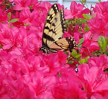 Butterfly in the azaleas   ^ by ctheworld