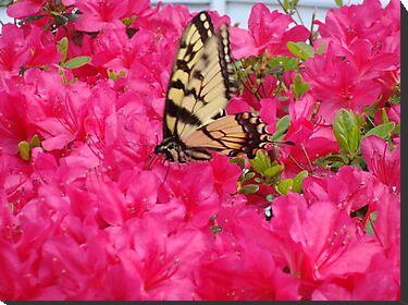 Butterfly in the azaleas by ctheworld