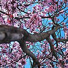 Plum in Bloom by gladyanne