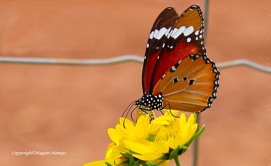 THE AFRICAN MONARCH - Danaus chrysippus aegyptius by Magaret Meintjes