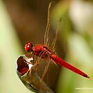 DRAGONFLY SERIES - Red-veined Dropwing – TRITHEMISM ARTERIOSA by Magaret Meintjes