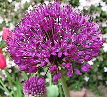 Purple Sensation - Ornamental Onion by BlueMoonRose