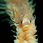 whip coral goby by sweetc