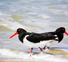 Pied Oyster catchers- Marion Bay  by Ron Co