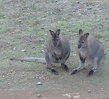 A pair of Bennetts Wallabies -male and female by Ron Co