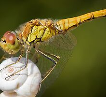 Dragonfly by Remy Erra