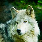 Grey Wolf - Forest of Wolves Series  by Mary Campbell