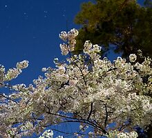 cherry blossoms under moonlight by briannolans
