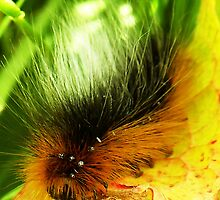 Fluffy Caterpillar Number two by sarnia2
