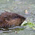 Feeding Muskrat by Daniel  Parent
