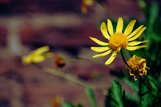 Yellow Flowers by Denis Marsili