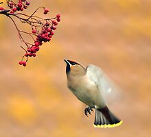 the waxwing and the berry part 1 the approach by Grandalf