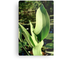Duck Potato Foliage - light and shadow Metal Print
