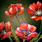 Flowers...Poppies by  Janis Zroback