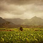 Hanalei Taro Fields by Suzanne Cummings