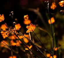 Buttercups  by Paul Revans