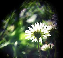 Daisies IIII by Claire Elford
