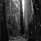 Redwoods, Montgomery Woods, Northern California by Ascender Photography