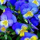 Pansies - Blue and Yellow by Dana Roper