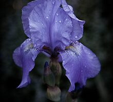 Blue Iris by Chris Lord