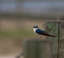 Swallow On a Wire by Coniferous
