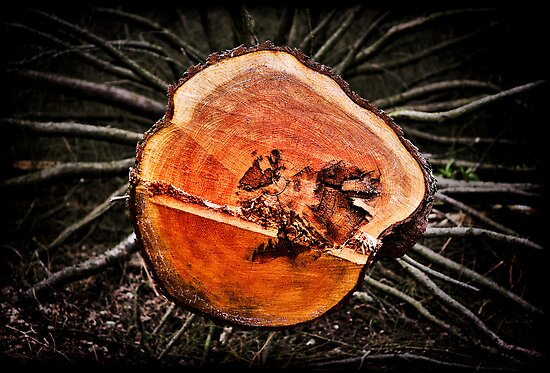 felled tree at Trentham gardens, Staffordshire, UK. by Steve Crompton