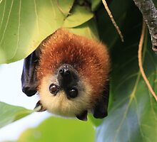Aldabra Fruit Bat by calummaimages