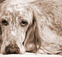 English Setter, thinking by friendlydragon