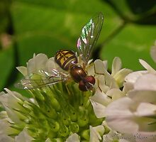 Sweat Bee On A Clover Flower by Marcieg