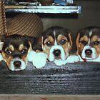 DER BEAGLE..............EIN FAMILIEN HUND by Heidi Mooney-Hill