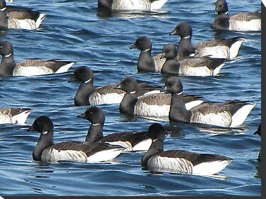 Convoy of Brant geese by Nancy Richard