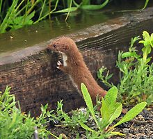 weasel takes a sip of rainwater by Grandalf