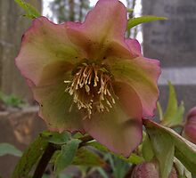 flower at George Eliot's grave, Highgate by liverecs