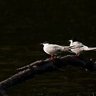 Common terns by Jon Lees