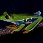 Red Eyed Tree Frog by Regenia Brabham