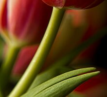 Red Tulip by Dania Reichmuth
