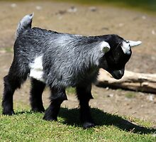 Baby Goat by HALIFAXPHOTO