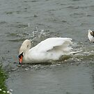 Defensive Duck Circling Swan by tammyins