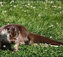 Otter 01 by Alannah Hawker