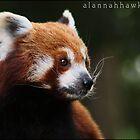 Red Panda 02 by Alannah Hawker