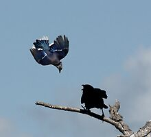 BLUEJAY IN A PROTECTIVE DIVE by TomBaumker