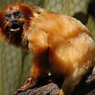 Golden-Lion Tamarin (Leontopithecus rosalia) by Adrian Paul
