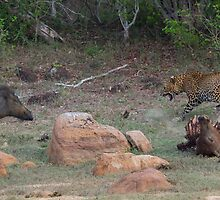 Leopard and Wild Boar Confrontation by Neil Bygrave (NATURELENS)