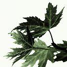Green leaf by AnaBanana