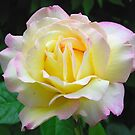 Peace Rose by Jennifer Hulbert-Hortman