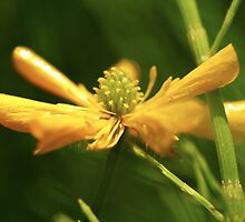 Buttercup by Paul Revans