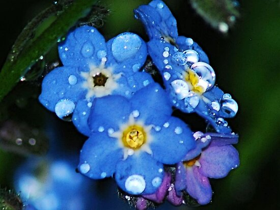 Forget-Me-Not by Tori Snow
