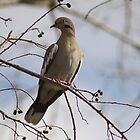 Dove perched in a tree by Ann Reece